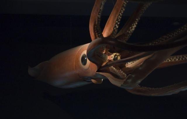 Encuentran una cría de calamar gigante en España - http://www.infouno.cl/encuentran-una-cria-de-calamar-gigante-en-espana/