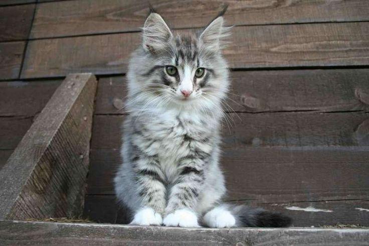 Кошки питомника -Потомство -PRIZE (приз, премия) -ФИЛЯ (Philip North Cape*RU)
