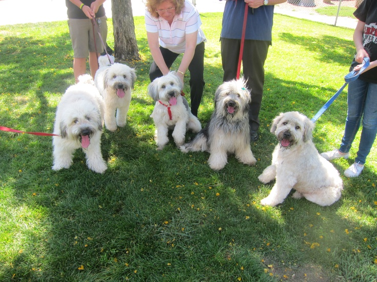 Wheaten Terrier mommie Gracie (at right) and her four puppies celebrate the puppies' first birthday.