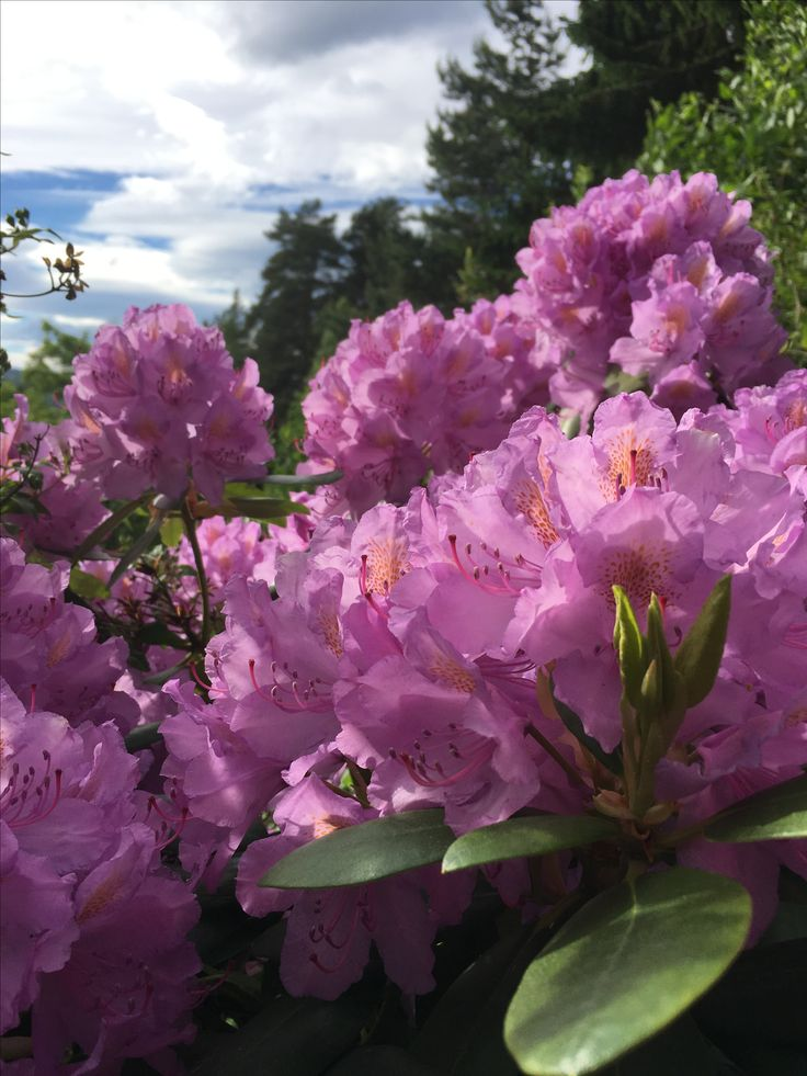 Rhododendron 🌸