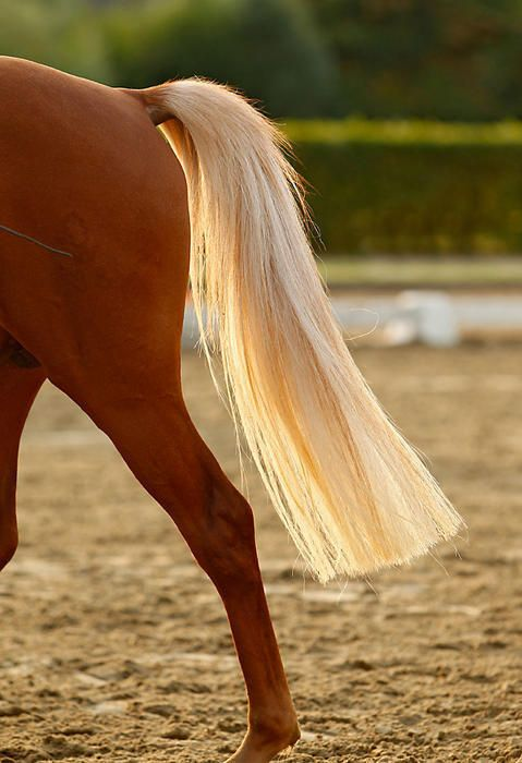 Palomino boy would I like to know who chopped  his tail off like that ,  you pull a horses tail and mane