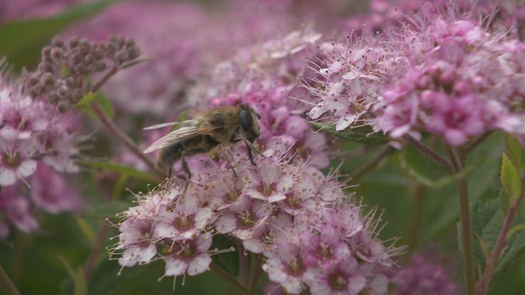 Imkers in Almere hebben een topseizoen. Dankzij een zachte winter, een uitzonderlijk vroeg voorjaar en het uitblijven van noodweer in de provincie is de productie van bijen groot, aldus imker Cor Dol. Hij houdt bijenvolken in de Kemphaan in Almere. De bijenhouders zijn nu bezig met hun laatste oogst voor de winter en hebben meer honing geoogst dan voorgaande jaren. De honing is van goede kwaliteit. De sterfte van bijen is minder dan voorgaande jaren. In 2006 was dat nog bijna 40 procent nu…