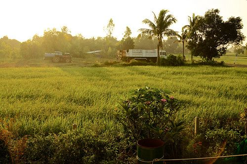 nice Sunrise over the rice fields in a village in Surin province, Thailand