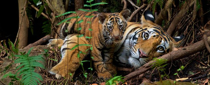 Support National Geographic - National Geographic Society. Big cats.