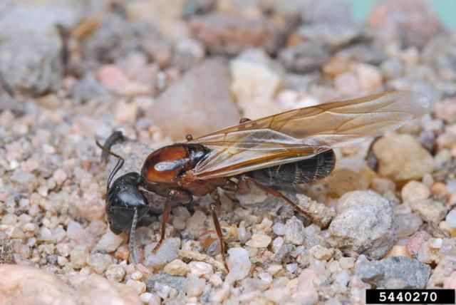Flying ants in the home are rarely a good sign, and this is especially true if they are seen indoors during the winter. Find out why and what to do.