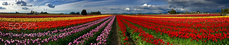 Tulips Infinity by -Aquamarine-
