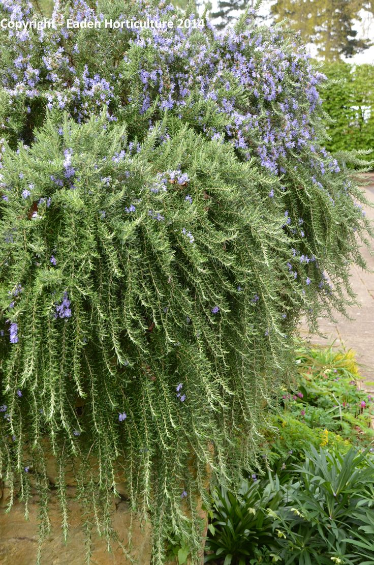 THE WEEPING ROSEMARY