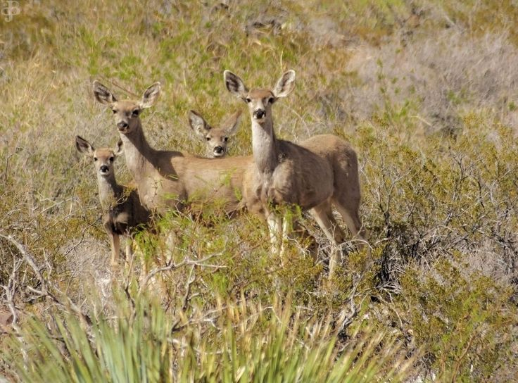 Mule Deer Franklin Mountains State Park El Paso Texas