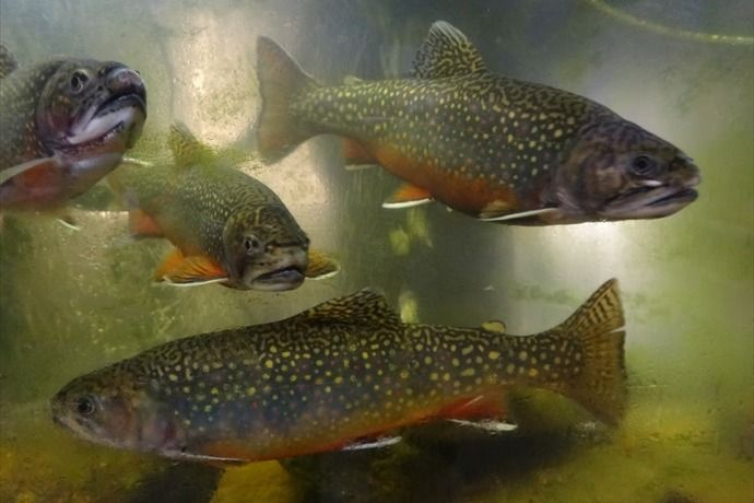 50 best images about pa symbols on pinterest fireflies for Best trout fishing in pa