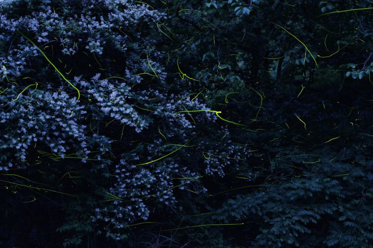 Dazzling Long Exposures Capture the Fireflies of Japan | Credit: Kei Nomiyama | From Wired.com