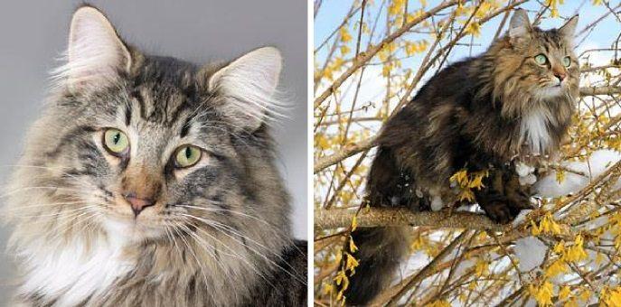 Norueguês da Floresta /raças de gato raras