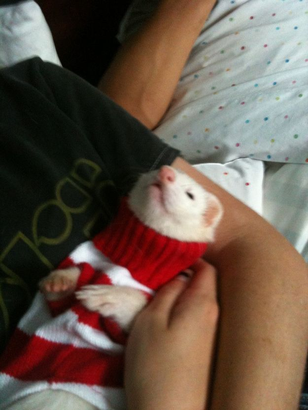 This ferret who proves turtle necks aren't just for turtles. | 17 Animals Who Look More Fab In Their Christmas Sweaters Than You Ever Will