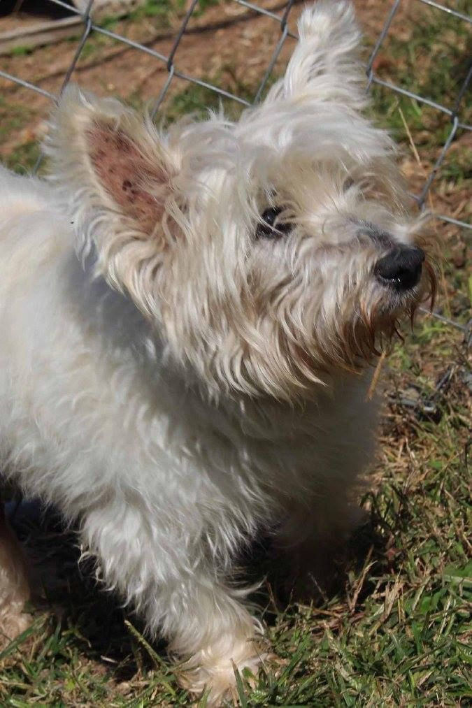 Meet Ms. Jasmine, an adoptable West Highland White Terrier Westie looking for a forever home. If you're looking for a new pet to adopt or want information on how to get involved with adoptable pets, Petfinder.com is a great resource.