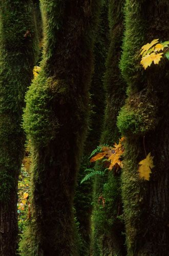 Moss and Ferns on Trees    Cowichan River