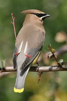Cedar Waxwing - They migrate through our area of Oregon, usually in February.