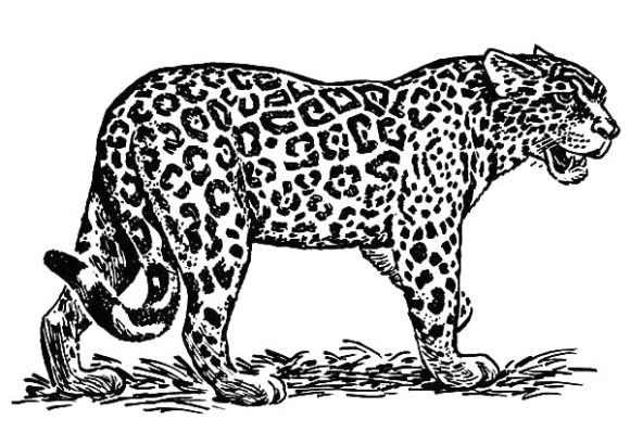 Jaguar Coloring Page Jaguar Animal Zoo Animal Coloring Pages