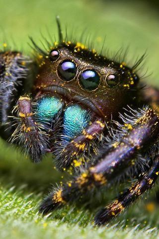 Immature Phidippus audax Jumping Spider (I think)