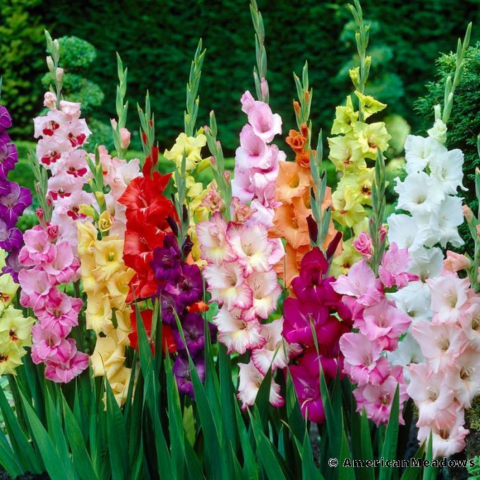 Rainbow Gladiolus Mix Gladiolus Flower Gladiolus Planting Bulbs