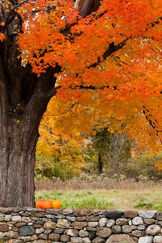 Fall Pumpkin, Fall Beautiful, Fall Colors, Autumn Fall, Stones Wall, Favorite Seasons, Trees, Families Photos, Nature Colors