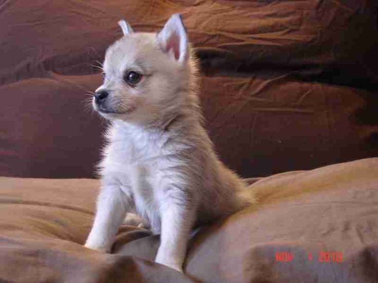 Toy Alaskan Husky For Sale | Alaskan Klee Kai - the Ultimate Resource by Rocky Mountain Klee Kai #dog #husky #animal
