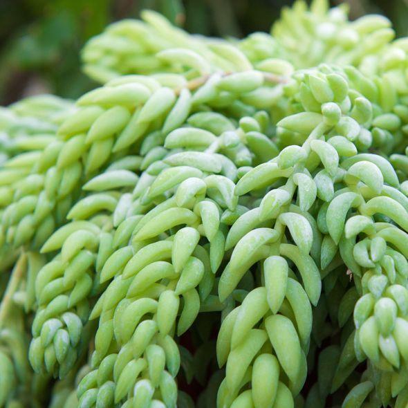 Sedum Burrito Plante Grasse Avec Images Plantes Grasses
