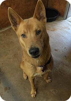 Burlington, WA - German Shepherd Dog/Chow Chow Mix. Meet Gunnar, a dog for adoption. http://www.adoptapet.com/pet/14593914-burlington-washington-german-shepherd-dog-mix