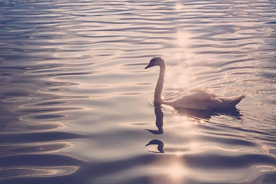 Pink swan by MalgoS