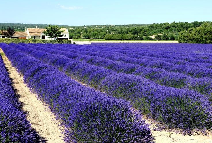 provenza Lavanda!    So beautiful! Lavender.