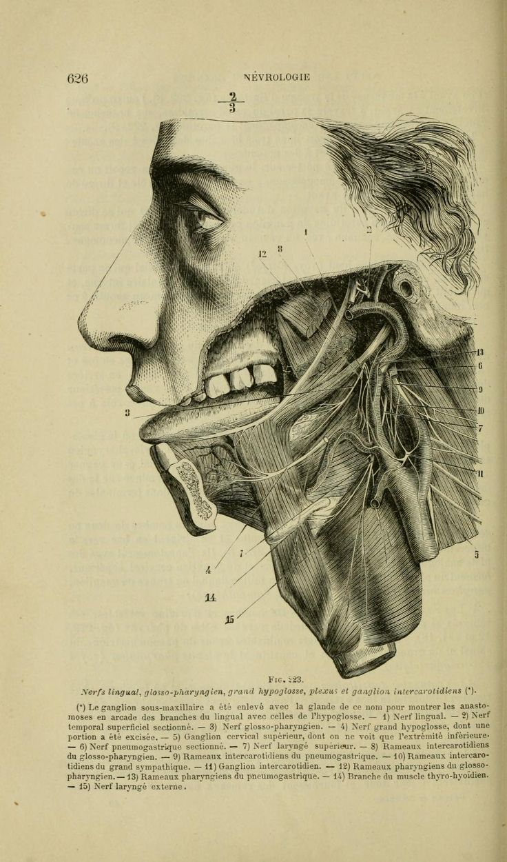 Related pictures split tongue jpg pictures to pin on pinterest - Nerves Of The Tongue And Throat Nouveaux L Ments D Anatomie