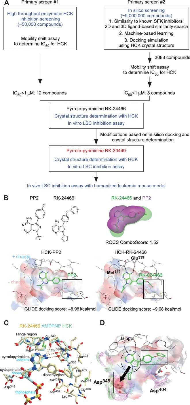 Identification of small-molecule HCK inhibitors. (A) Screening strategy integrating high-throughput enzyme assay, in silico prediction, and x-ray crystallography. (B) Upper left: Chemical structures of PP2 and RK-24466. Upper right: RK-24466 with PP2. Lower left and right: RK-24466 and PP2 with HCK.  RK-24466 bound to the ATP binding site of HCK. (D) RK-24466 binding with HCK based on crystal structure determination, highlighting strategies for designing compounds with higher affinity with…