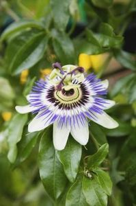 I discovered the passion flower vine when I was living in South Carolina. Certain types of caterpillars feast on the vine leaving it bare but ensuring that you will always have butterflies in your garden. WARNING: this plant loves to spread.