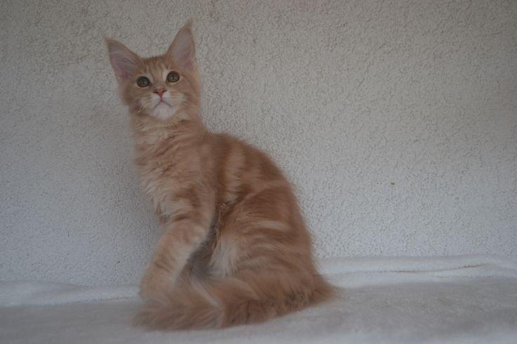 Jsem kočičí model, rád pózuju ... Jsem malý mainský kocourek Romeo
