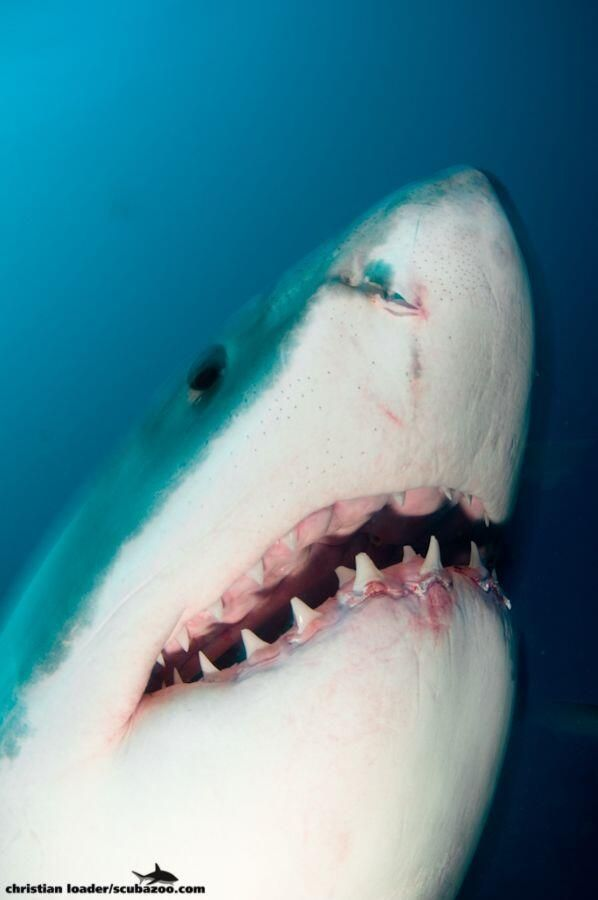Great White Shark Close Up