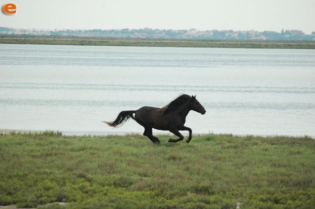 Feral horse in the Delta of Evros. Greece