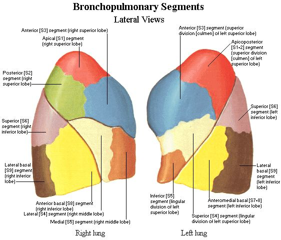 Lung segments anatomy