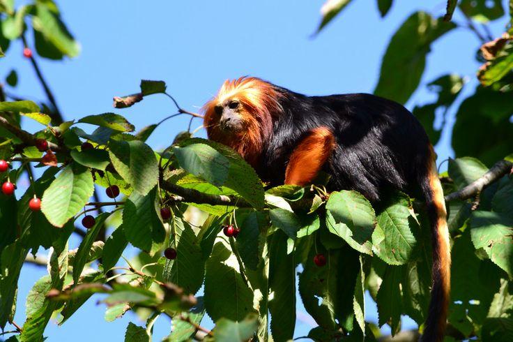 Les Tamarins Lion à tête dorée sont originaires du Brésil, où ils vivent en général en petites familles constituées d'un couple reproducteur et de ses enfants.
