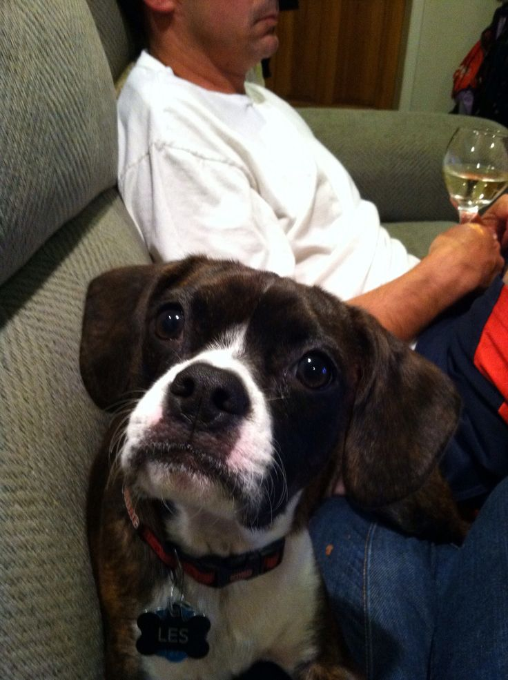 Boston terrier and cavalier King Charles spaniel mix ...