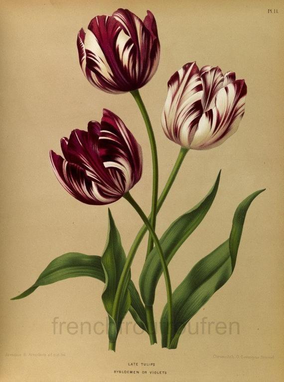 Antique Victorian Botanical Print Late Tulip Digital Download Etsy Flower Illustration Vintage Botanical Tattoo Vintage Flower Tattoo