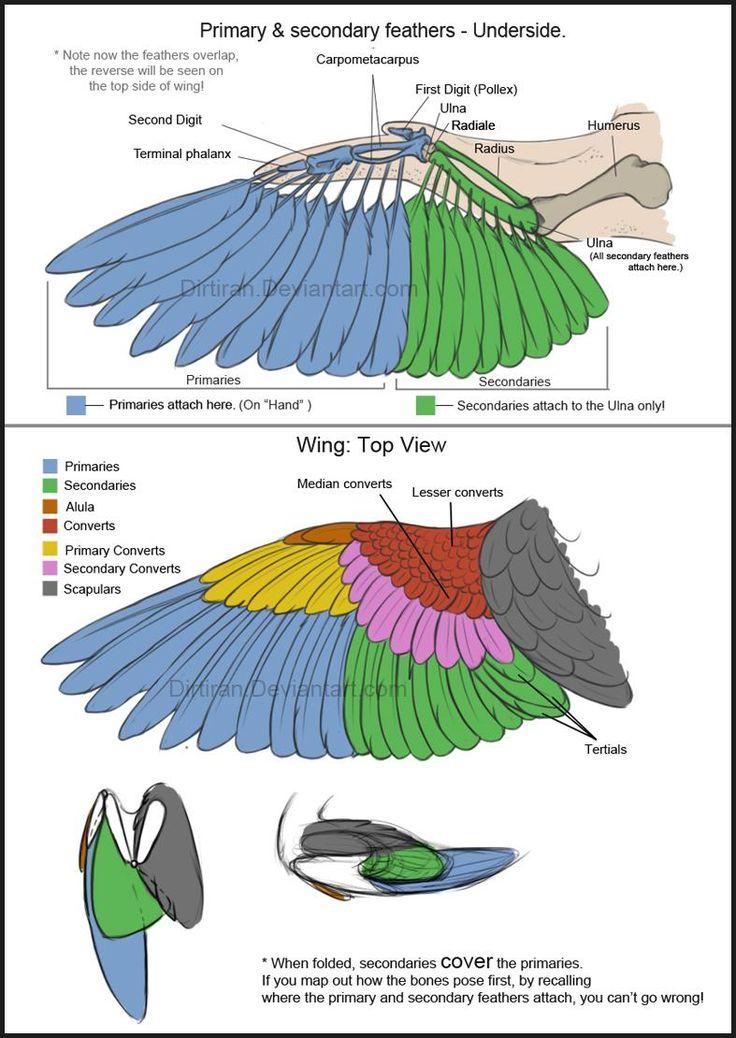 Referencia anatómica para dibujar/animar alas en aves.                                                                                                                                                                                 Más