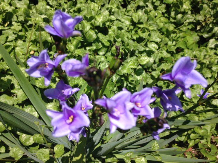 Aristea ecklonii Common name Blue Stars