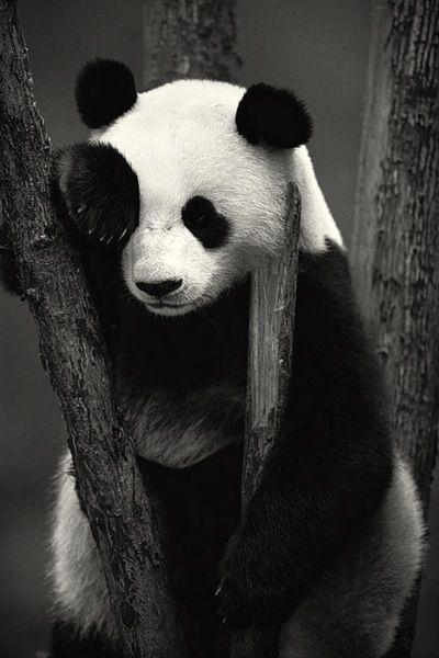 Qué panda!