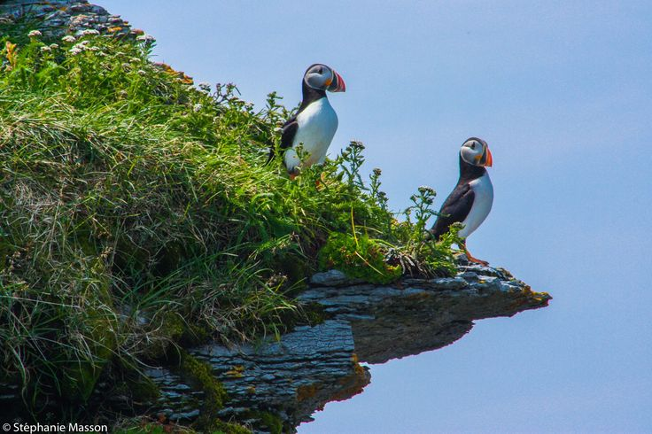 Puffins by Stéphanie Masson on 500px - Atlantic puffin on a coast cliff in Mingan Archipelago National Park Reserve (Quebec, Canada).