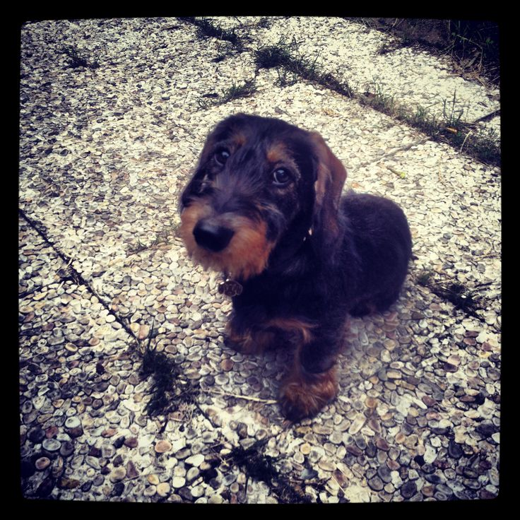 Bassotto Tedesco a Pelo Duro. Dachshund Wirehaired. Teckle. Bruno!