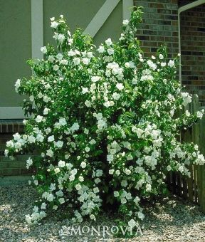 NATIVE. Mock Orange -   Philadelphus x virginalis. Beautiful, extremely fragrant double white flowers on a fountain-like form. Striking landscape specimen. Useful as a screen or informal hedge. Effective background plant. Fast grower to 6 to 8 ft. tall, 6 ft. wide.