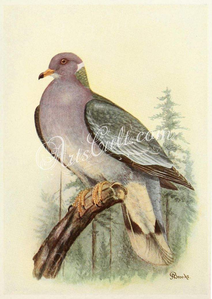 Mershon's The Passenger Pigeon (Band-tailed Dove illustration, crop)      ...