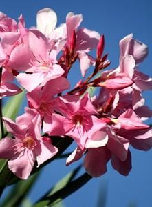 21 best images about my oleander on pinterest gardens flower prints and the flowers. Black Bedroom Furniture Sets. Home Design Ideas