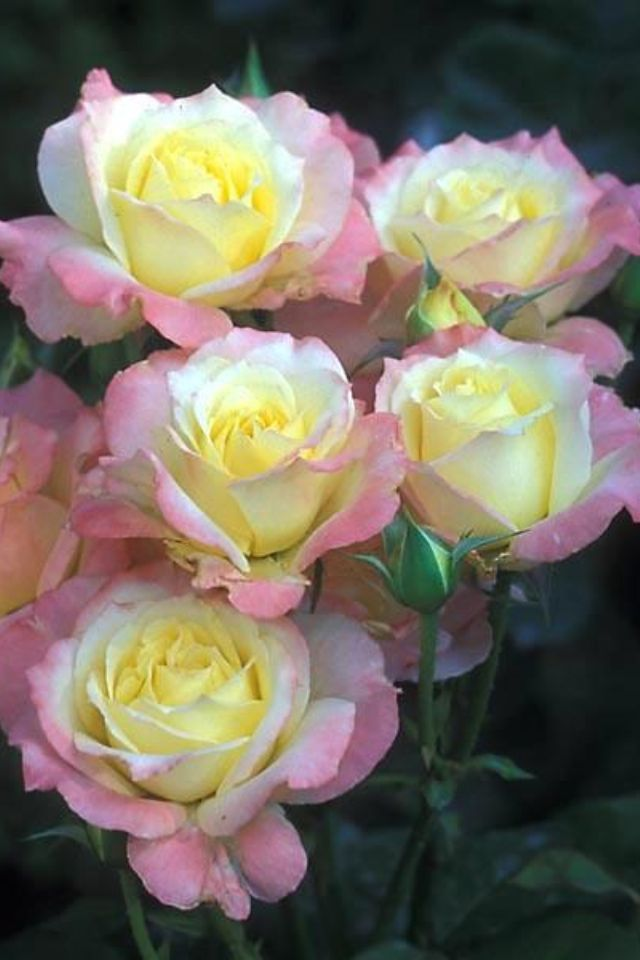 Yellow roses with pink tips | Bells and White | Pinterest ...