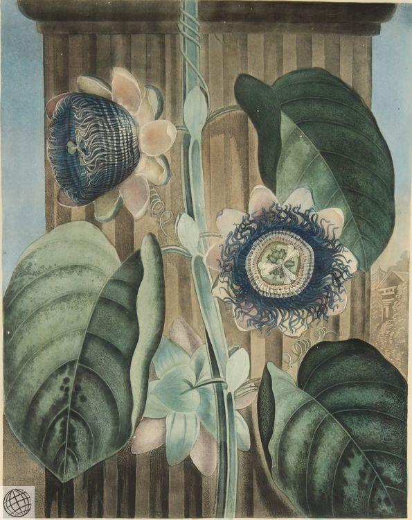 Quadrangular Passion Flower ROBERT JOHN THORNTON Hand Colored Aquatint Engraving Art