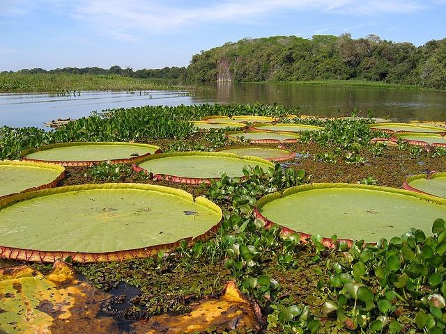 Els llacs en l'àmbit de la flora: El Gran Pantanal a Brasil.