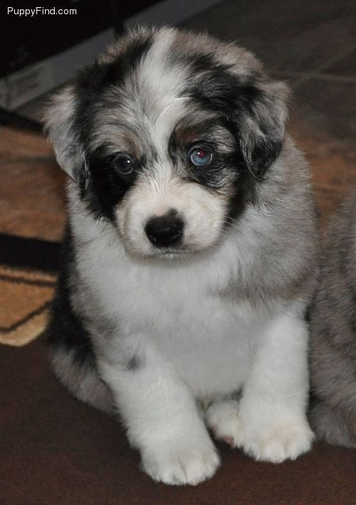 Future Puppy | Male Miniature Australian Shepherd Puppy For Sale in Rice TX | 3561166716 | Dogs on Oodle Marketplace